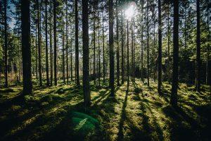 gryning i skogen